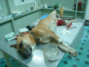Dog injured from fireworks